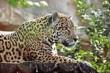 Звук ягуара