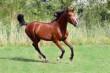 Звук лошади